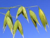 Maturing Oat Grain (Avena-sativa)