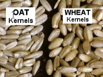 Oat_wheat_label_large